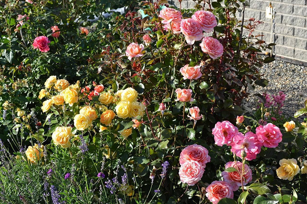Когда пересаживать корнесобственные розы. как и когда можно пересадить розы весной на другое место.