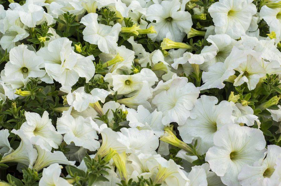 Садовые цветы петунии: на видео выращивание и уход в открытом грунте и в домашних условиях