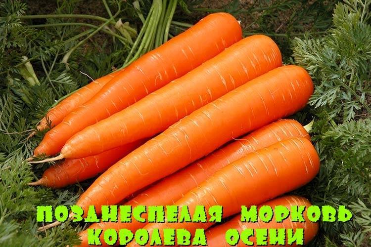 Характеристика корневой системы моркови - мыдачники