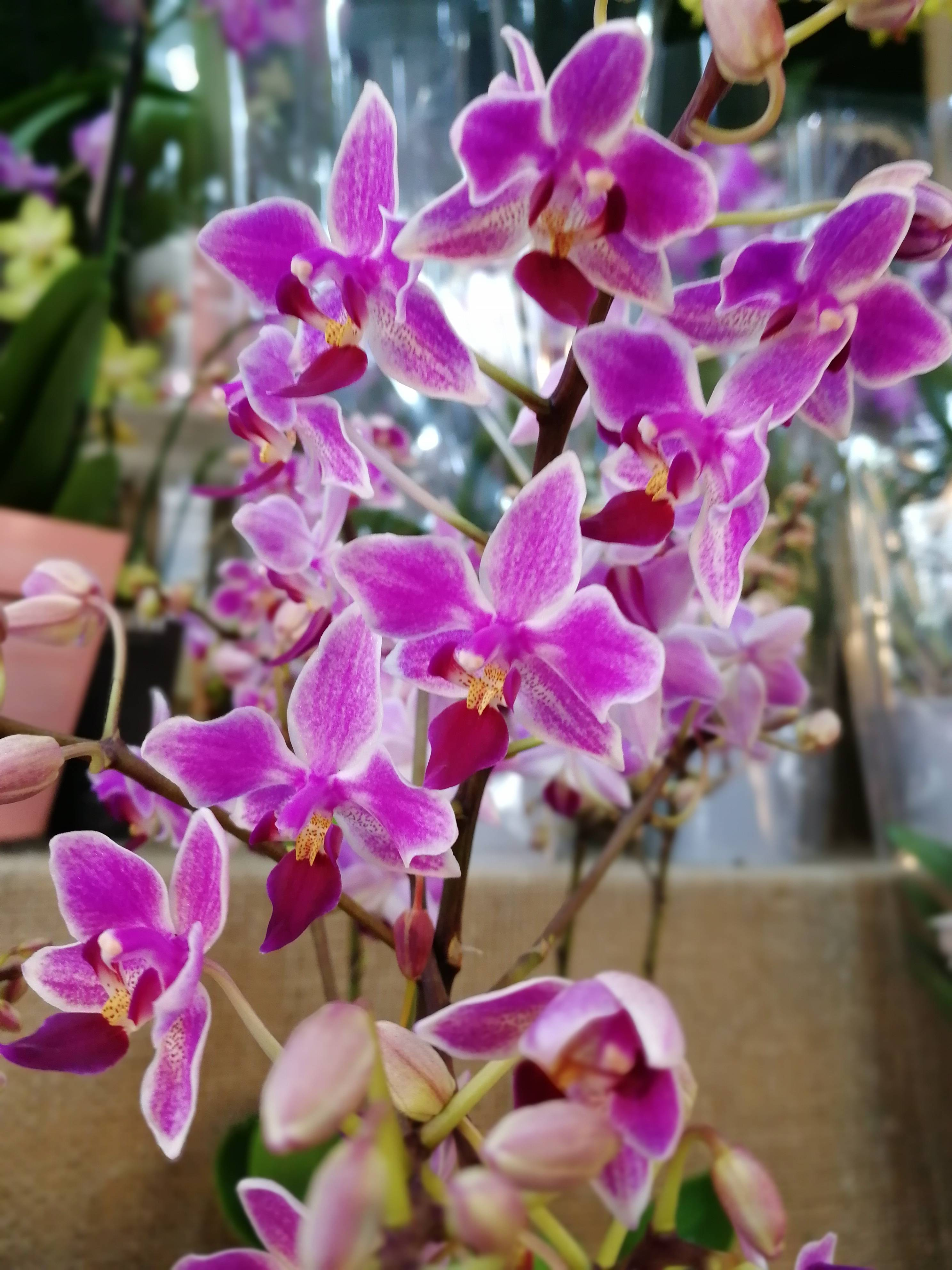 Фаленопсис микс: уход в домашних условиях после магазина, описание и фото орхидеи, кто придумал такое название и что это означает, как размножить и защитить цветок? русский фермер