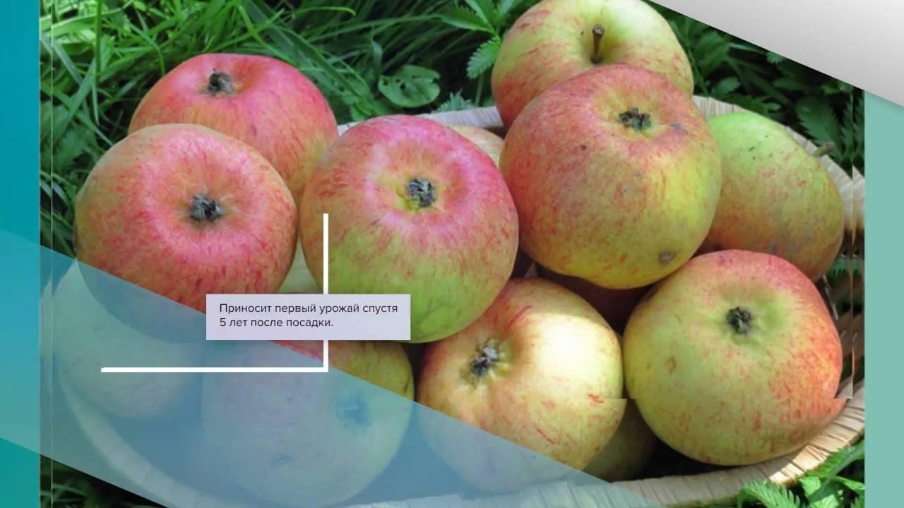 Яблоня неженка летняя: описание с фото и отзывы садоводов