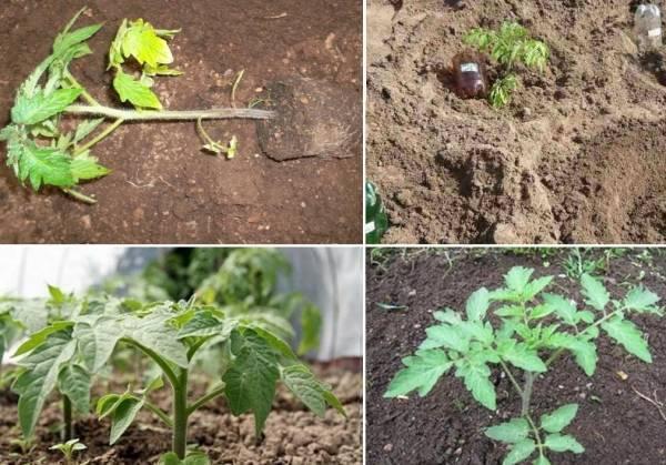 При какой температуре выращивать рассаду помидоров оптимально в домашних условиях, а также каковы требования к минимальному режиму по градусам при посадке томатов? русский фермер