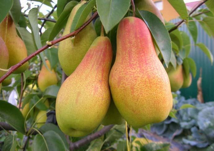 ✅ о сорте груши аббат феттель: описание, особенности выращивания, как ухаживать - tehnomir32.ru