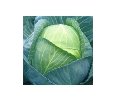 Капуста зенон f1: описание и характеристика белокочанного сорта, отзывы и фото семян, пригодность для квашения и засолки, сроки созревания