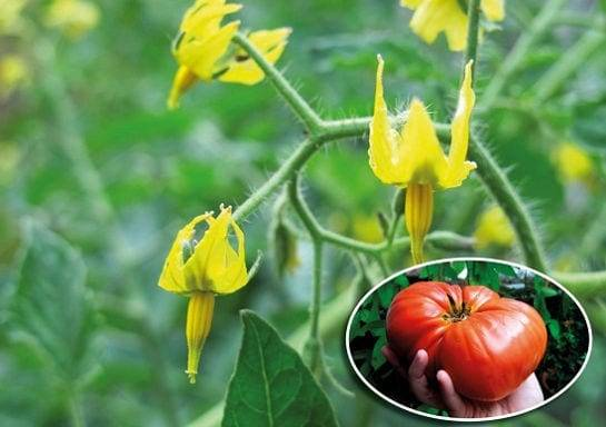 Почему образуется пустоцвет на помидорах в теплице