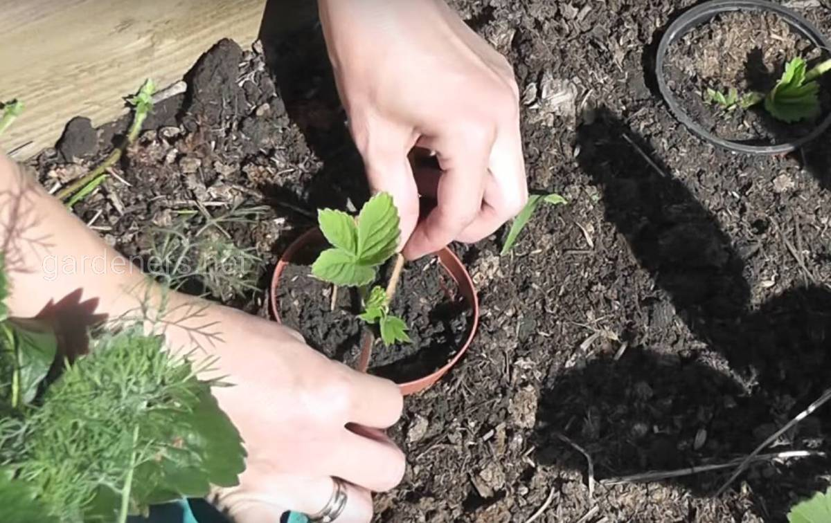 Размножение клубники усами: правильная посадка весной и осень, видео и фото