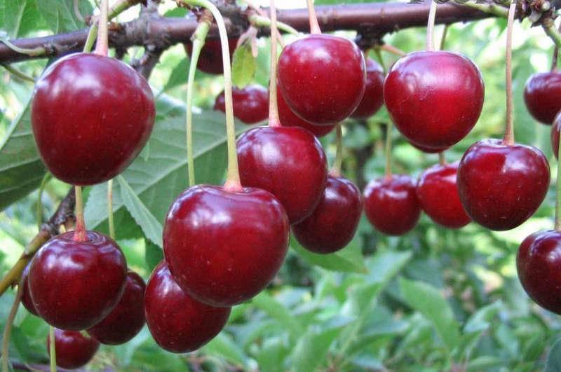 Вишня малышка - достойный сорт для выращивания на садовом участке