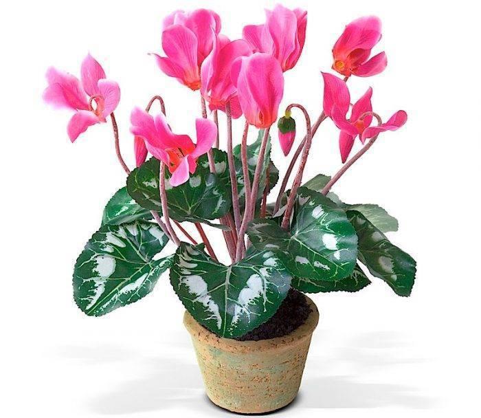 Цветок «Цикламен»: описание, фото, уход в домашних условиях