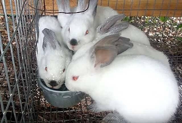Сколько растет кролик от рождения до забоя - petnaobed.ru