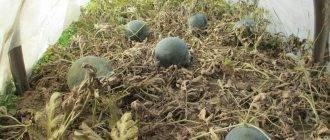 Как вырастить арбузы и дыни в подмосковье, сорта