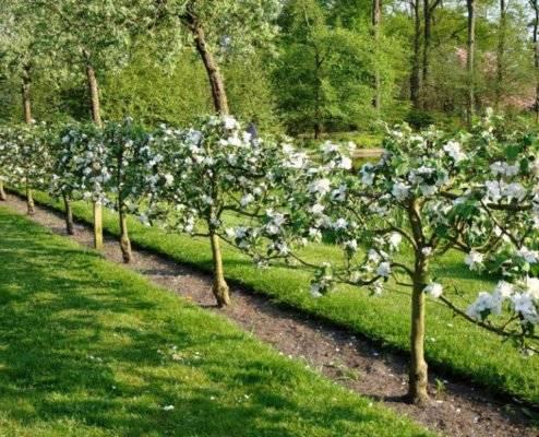 Как посадить яблоню весной: пошаговое руководство