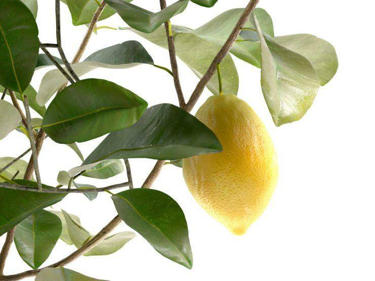 Лунарио лимон - зеленый уголок