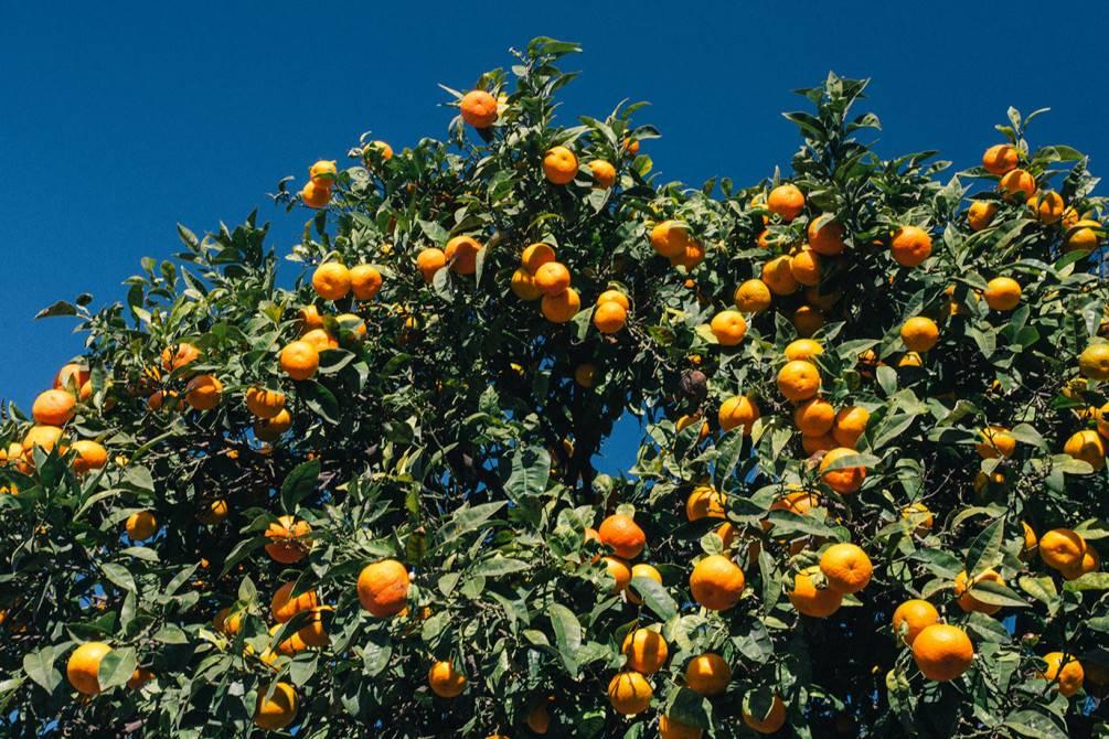 Мандарины - новогодний фрукт как средство от тоски и источник витаминов. мандарины витамины витамины в мандаринах