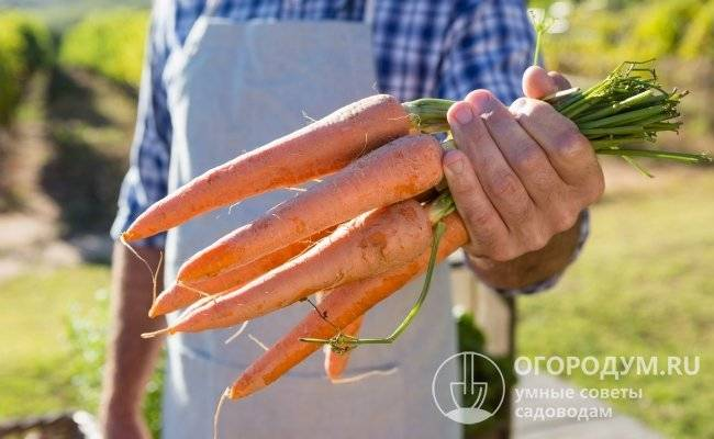 Популярный в россии сорт моркови самсон – характеристика, особенности выращивания