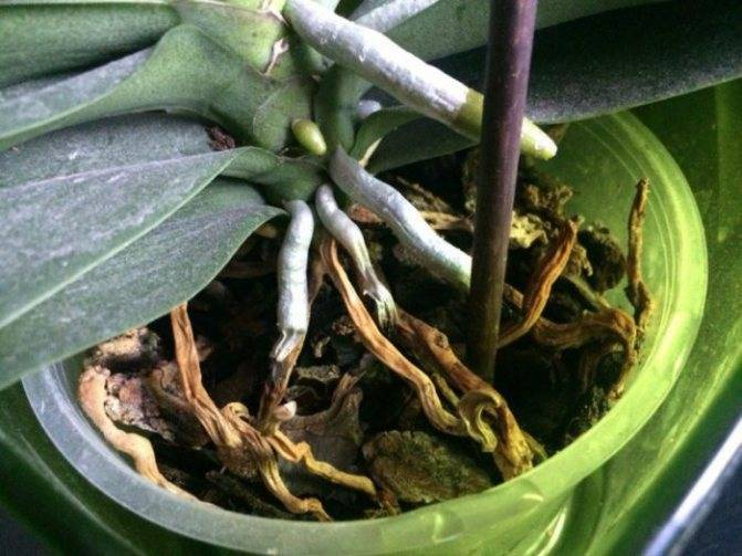 Как реанимировать орхидею – способы оживления, если цветок сгнил, засох или остался без корней и листев, как правильно спасти детку в домашних условиях