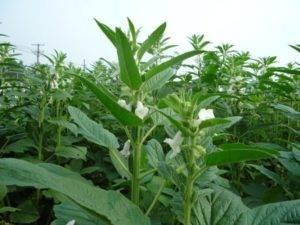 Кунжут: как растет и где? виды кунжута, выращивание, полезные свойства :: syl.ru