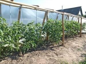 Как пасынковать помидоры в открытом грунте: схема, инструкция, пошаговое видео