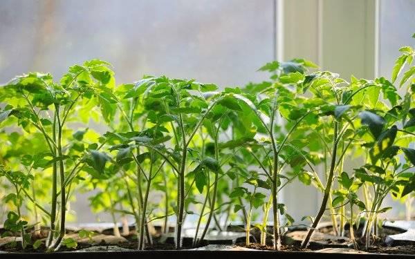 Когда нужно сажать помидоры на рассаду - когда сажать и как выращивать