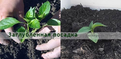 Перец не растет: причины, особенности выращивания и нюансы ухода за перцем (120 фото)