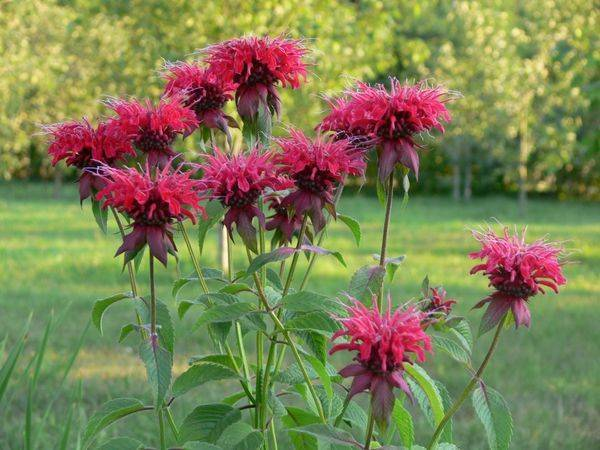 Монарда - фото цветка, лечебные свойства, посадка и уход в открытом грунте, выращивание из семян, сорта