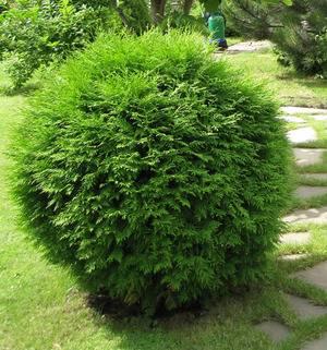 Хвойные деревья: список с описанием и фото