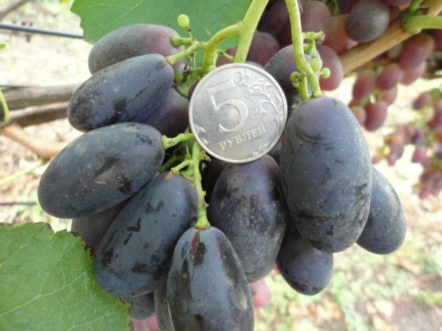 Сорт винограда велика: описание и отзывы, фото