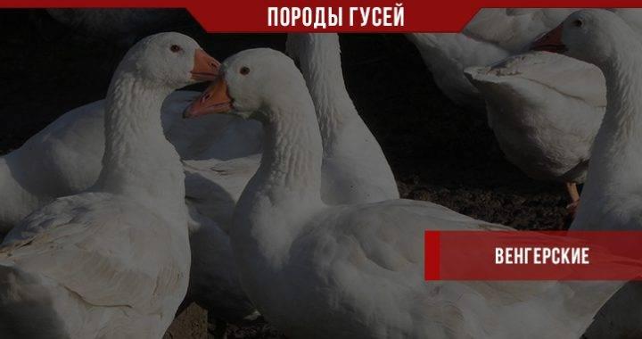 Губернаторские гуси: описание породы, характеристика, фото — selok.info