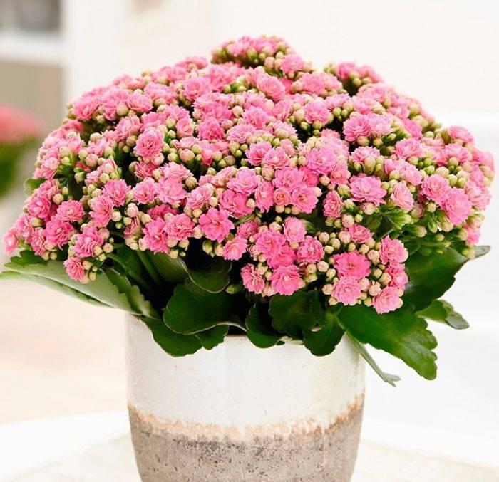Как ухаживать за декоративным цветком каланхоэ: уход в домашних условиях, пересадка цветущего растения