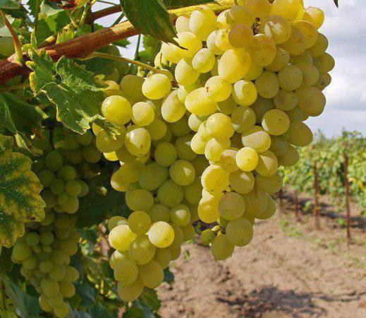 Виноград элегант: описание сорта