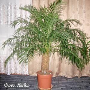 Комнатная финиковая пальма. уход и выращивание. фото — ботаничка.ru