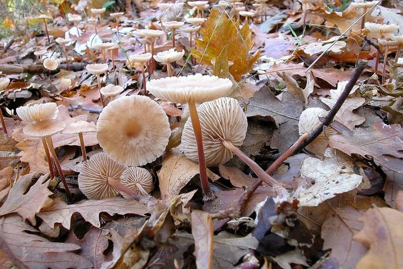 Чесночник обыкновенный – гриб с чесночным запахом