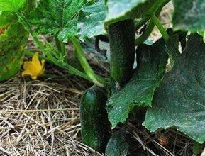 Чем подкормить огурцы для хорошего роста. | здоровое питание