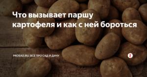 Парша картофеля и методы борьбы с ней