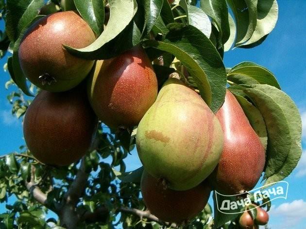 Груша маршал жуков: описание сорта, характеристика плодов, способы увеличения урожайности, нормирование, эффективные препараты, обрезка, отзывы и советы