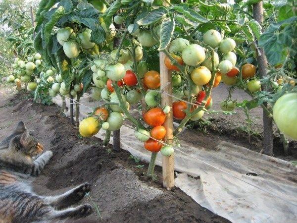 Книга что посадишь, то и съешь. часть 3. томаты, тыквы и родственные им культуры читать онлайн бесплатно, автор галина кизима – fictionbook