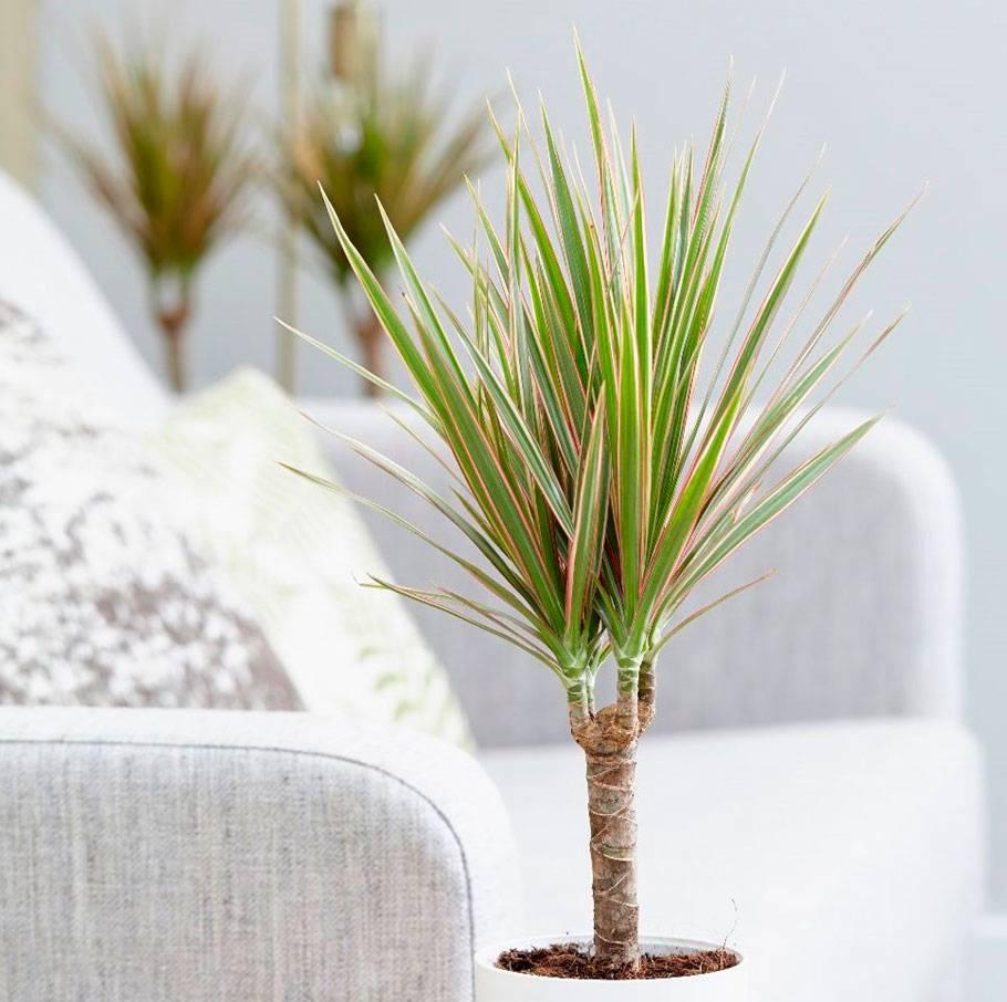 Особенности ухода за драценой — что делать в домашних условиях