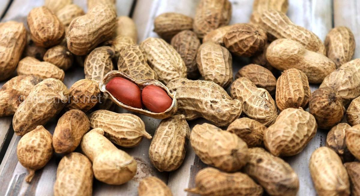 Земляной орех: 105 фото и видео описание как и где вырастить в россии арахис