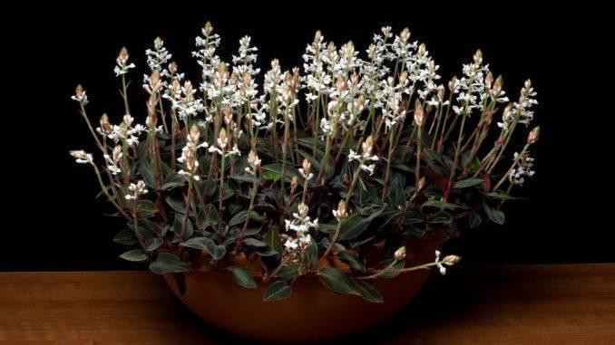 Роскошная листва «драгоценных орхидей». уход в домашних условиях. выращивание, размножение, виды. фото — ботаничка.ru