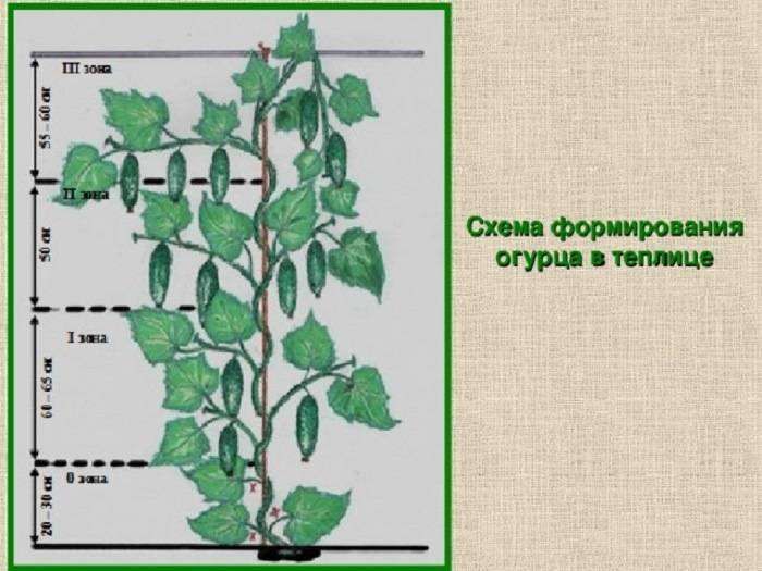 Обрезка огурцов в теплице — схема