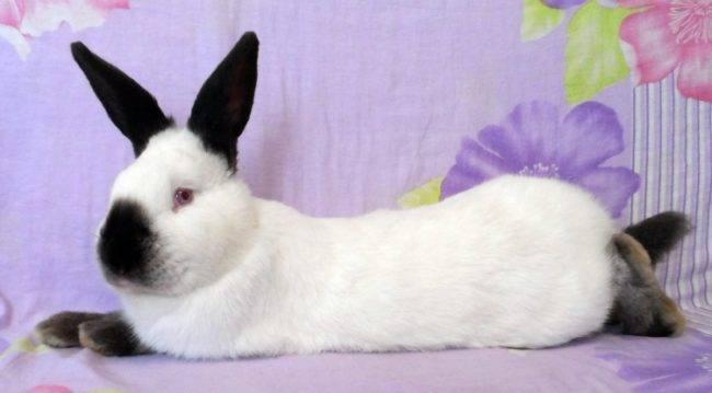 Калифорнийский кролик, исторические факты происхождения, содержание