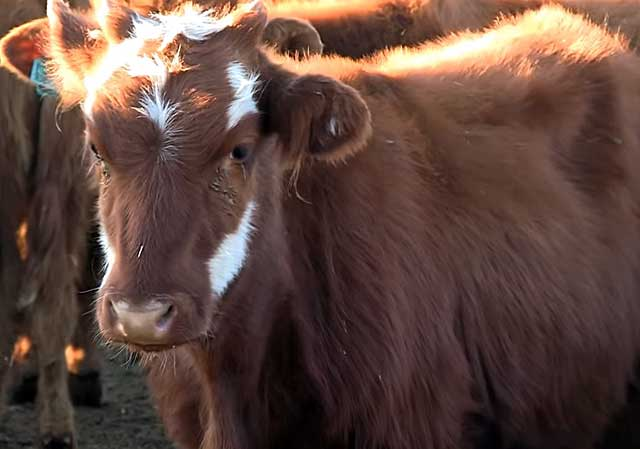 Калмыцкая порода коров (17 фото): характеристика быков, выведенных в калмыкии, откорм телят, мясная порода крупного рогатого скота
