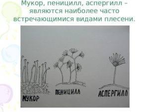 Гриб мукор: описание, практическое применение. в чём опасность гриба