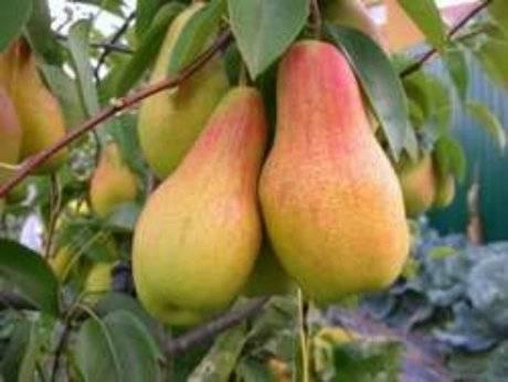 Сорта груш — самые лучшие и популярные сорта груш для средней полосы россии (видео + 125 фото)