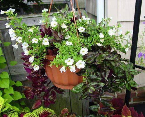 Как выращивать торению из семян. в домашних условиях. фото — ботаничка.ru