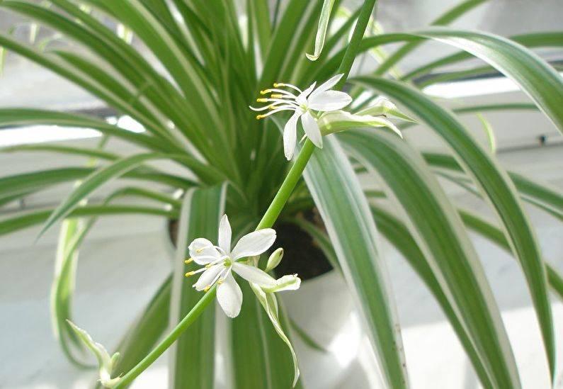 Хлорофитум (chlorophytum) – уход, фото, виды