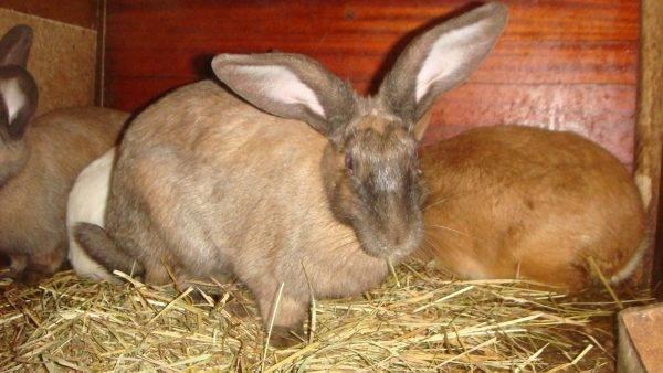 Роды крольчихи: сколько длится беременность, окрол, чем кормить