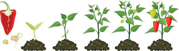 Реальная задача в наши дни — посадка перца на рассаду на урале: как и когда сажать, все нюансы