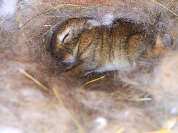 Почему крольчиха рвёт пух