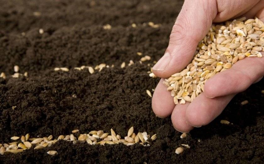 Посев озимой пшеницы: глубина посадки, сроки высадки, нюансы и советы