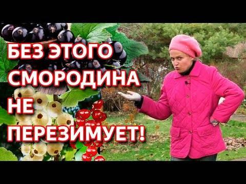 Уход за смородиной - правила ухода, секреты выращивания и этапы посадки смородинового куста (130 фото)